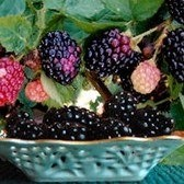 Boysenberry Thorny Blackberry Plants: to go on the dividing fence for the lawn/garden