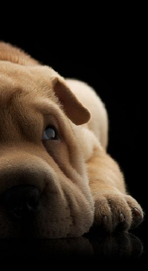 I've always wanted a Sharpei puppy
