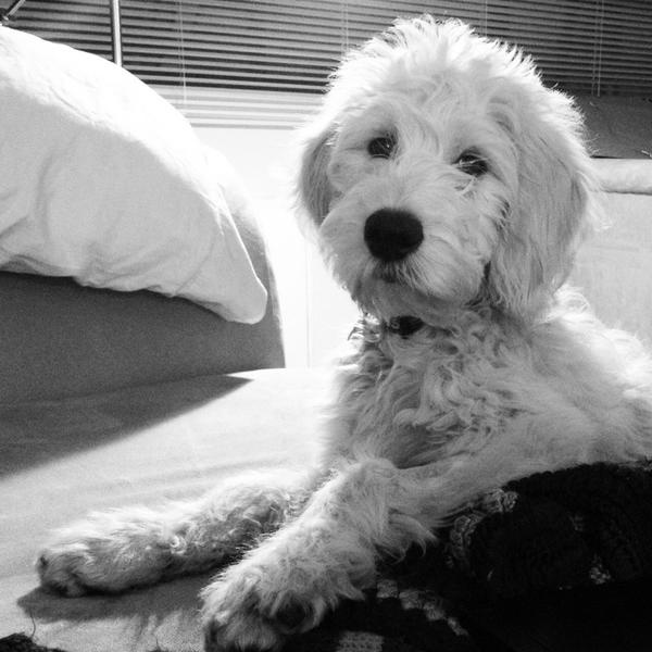 White Goldendoodles 17 Best images about B...