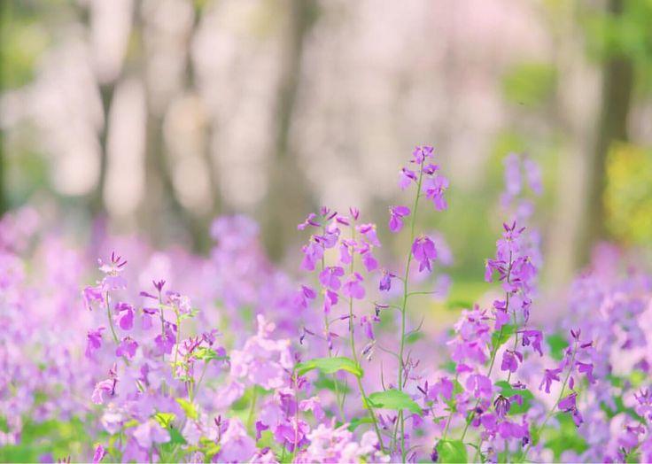 Pretty pastel spring flowers   ムラサキハナナ 桜をバックに  1本だと全然華やかではないのに、群生するとかわいくて大好きなお花  Location: Kitanomaru Park Tokyo  Via @sucre_coco on Instagram