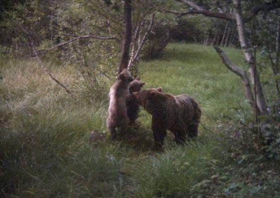 Nacen cuatro cachorros de oso pardo en el parque del Alt Pirineu