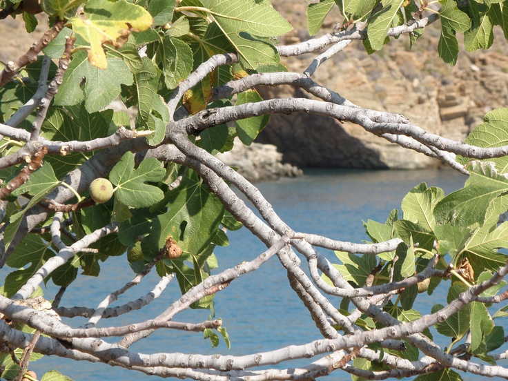 fig tree, Kaliskia, Kea