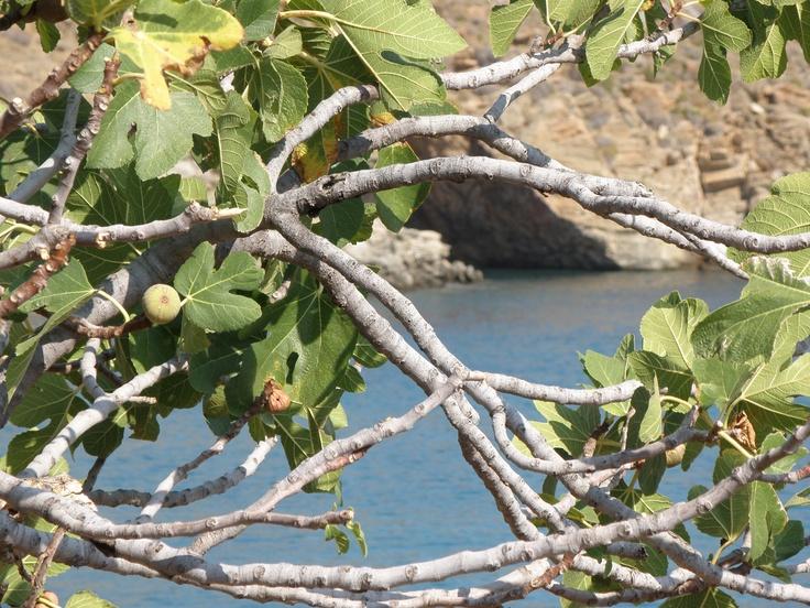 fig tree, Kaliskia, Kea
