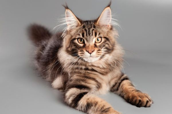 Fall in Love With These 5 Large Cat Breeds http://www.catster.com/lifestyle/large-cat-breeds?utm_content=bufferc6de7&utm_medium=social&utm_source=pinterest.com&utm_campaign=buffer #cat breeds