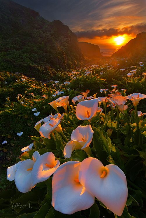 Calla Lily Valley by Yan L on 500px Big Sur https://500px.com/photo/66847527/calla-lily-valley-by-yan-l?from=user