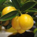 Limonella - Fruitbomen.net Mobiel