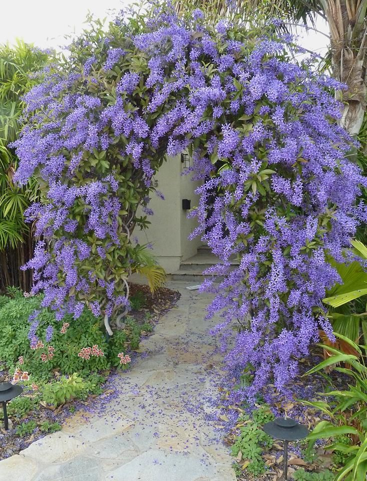 Full Garden In Backyard: Full Size Picture Of Queen's Wreath, Bluebird Vine