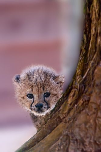 "Cheetah cub (=^.^=) Thanks, Pinterest Pinners, for stopping by, viewing, re-pinning, & following my boards.  Have a beautiful day! ^..^ and ""Feel free to share on Pinterest ^..^   #catsandme #cats"