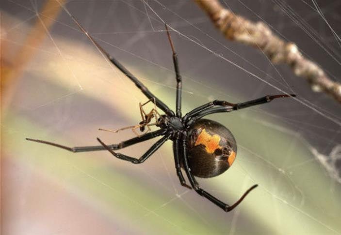 Los machos de araña de espalda roja, una especie venenosa cuyas hembras devoran al macho durante el coito, han desarrollado una estrategia de reproducción en la que se aparean con hembras inmaduras para evitar su fatal destino. Más información, link en BIO #curiosidades #animales #insecto #arañas #nationalgeographic #natgeoesp