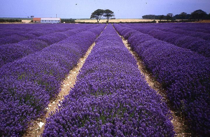 My Summer doesn't seem complete without a visit to Norfolk Lavender.  I love it!