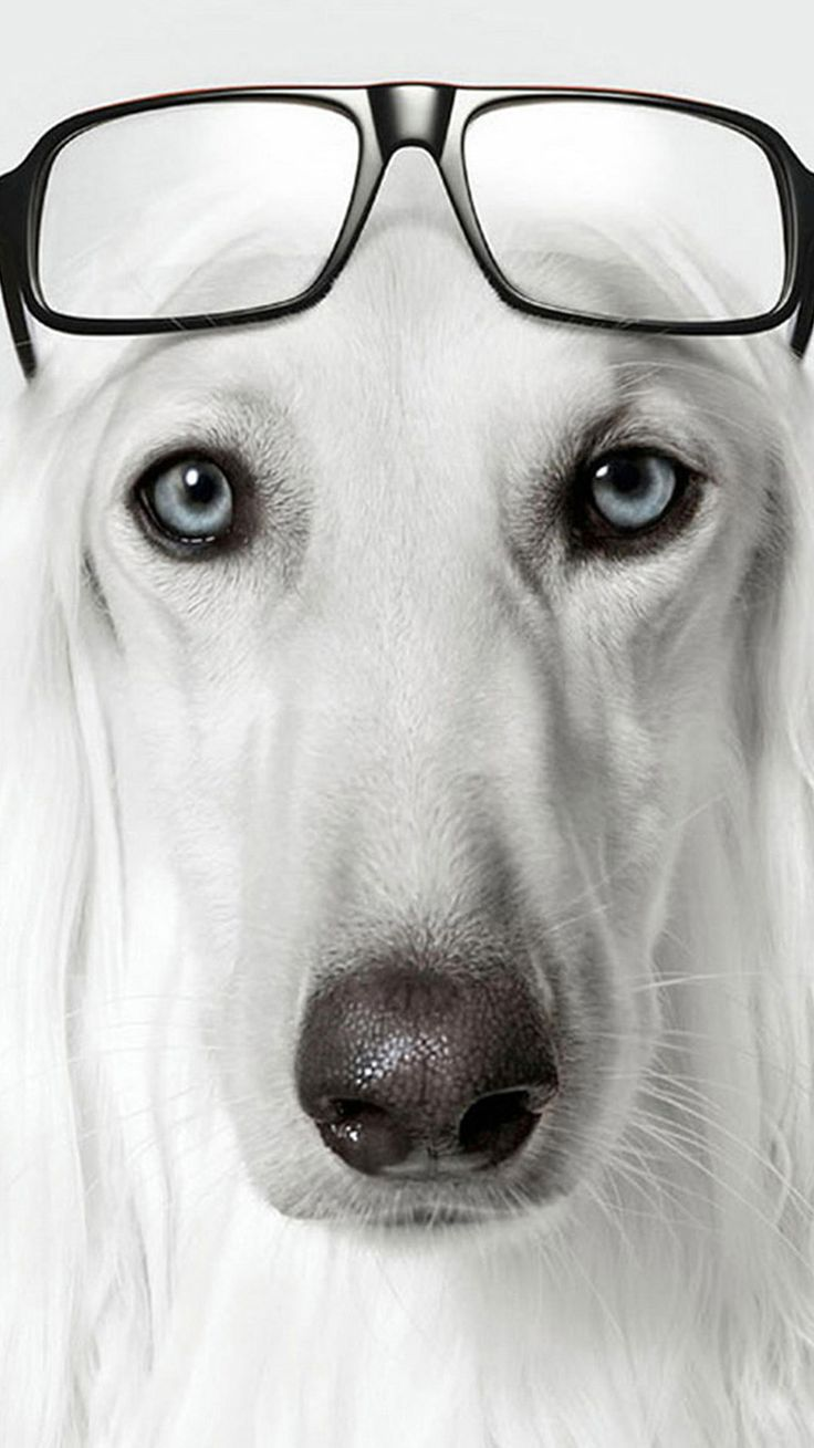 68 best puppy images on pinterest | dog wear, glasses and dogs
