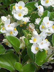 Begonie semperflorens - annuale