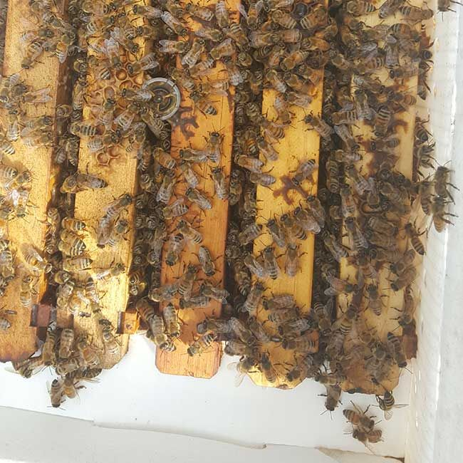 Cute Bee Nucs For Sale Quality Honey Bee Packages From Bee Serious LLC