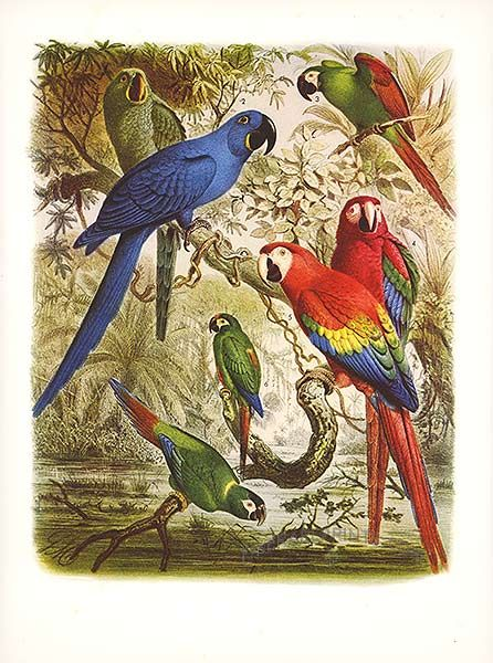 Antique print: picture of Macaws (Glaucous, Hyacinthine, Sever, - Red and Yellow, Red and Blue, Illger's and Golden-naped)