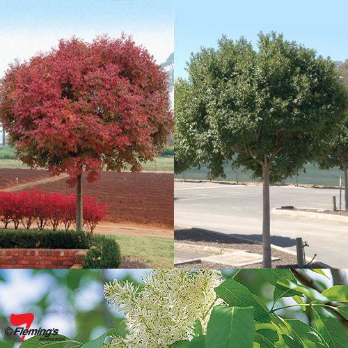 Fraxinus ornus 'Meczek' (bol pluimes), leuke bolvormige boom voor in kleine tuin, trekt vogels aan (5-6m hoog), geen snoei nodig