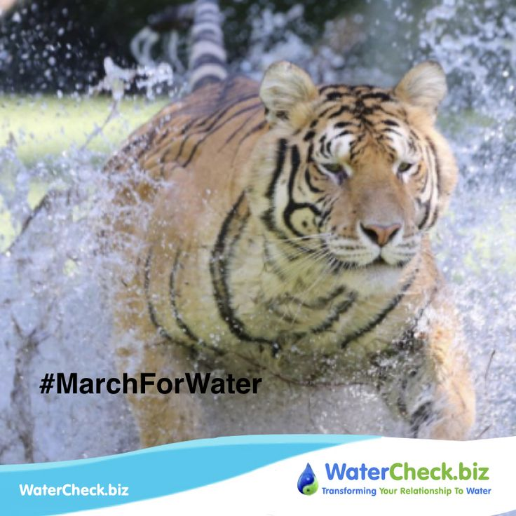 World Wildlife Day 2018 is 'Big Cats'. Using the expanded definition of big cats, the Day will raise awareness on the conservation of the lion, tiger, leopard and jaguar, as well as the cheetah, snow leopard, puma, clouded leopard and related species. #MarchForWater #likeforfollow  www.watercheck.biz/?utm_content=buffer60c1e&utm_medium=social&utm_source=pinterest.com&utm_campaign=buffer