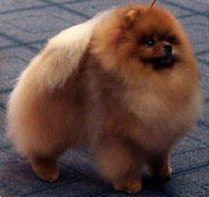 27: Partnering with Pufpride Pomeranians, breeder of Parker, aka, Am Ch Pufpride Sweet Dreams | Canton Pomeranians