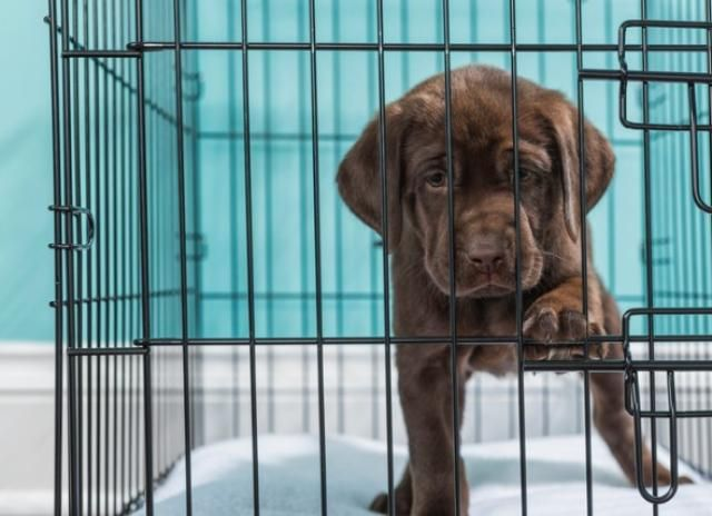 What To Do When Your Puppy Whines In His Crate Petmd In 2021 Puppy Whining Dog Whining Puppies