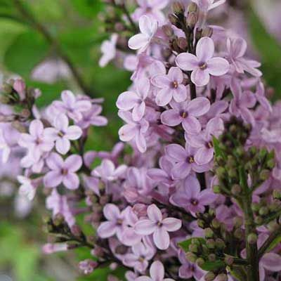 Photo: Courtesy White Flower Farm | thisoldhouse.com | Lilacs are hardy, fragrant, and easy to grow.