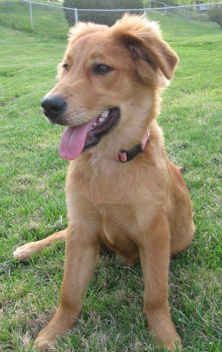 Golden Collie (Border Collie X Golden Retriever Mix), Temperament, Training, Puppies, Pictures