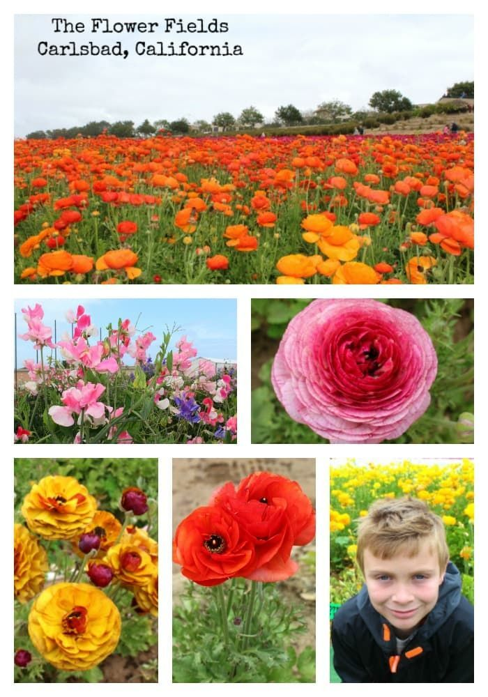The Best Time To Visit The Carlsbad Flower Fields In 2020 Carlsbad Flower Fields Flower Field Field Trip