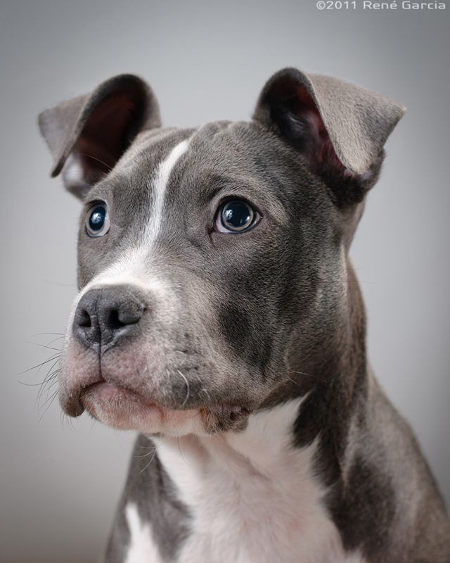 argumentative essay on pit bulls