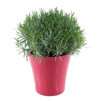 Lavandula angustifolia : pot prune 9 litres