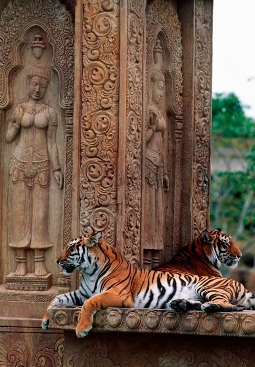 Tigers lying on Old Monuments in India Outback..