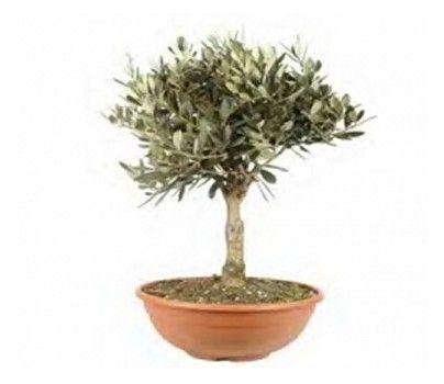 Olivo in Ciotola - Semilandia