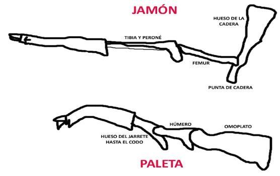 ANATOMÍA JAMÓN Y PALETA.