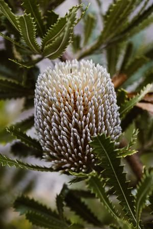 EMILY OBRIEN | https://emilyobrienlifestyle.com    Australian Serrata Banksia Photographic Print