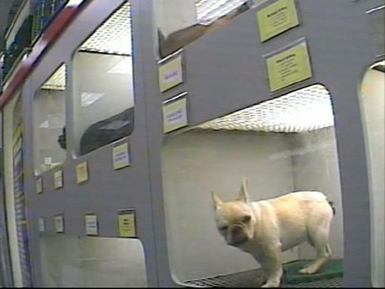 """In the largest-ever puppy mill investigation, HSUS investigators visited 21 Petland stores—in Florida, Indiana, Minnesota, Nevada, Ohio and elsewhere—and traced the origins of about 17,000 puppies shipped to the stores. They also visited many of Petland's breeders and suppliers. Our findings contradict assurances by staff at Petland stores and on Petland's corporate website that the company deals only with breeders who have """"the highest standards of pet care."""""""