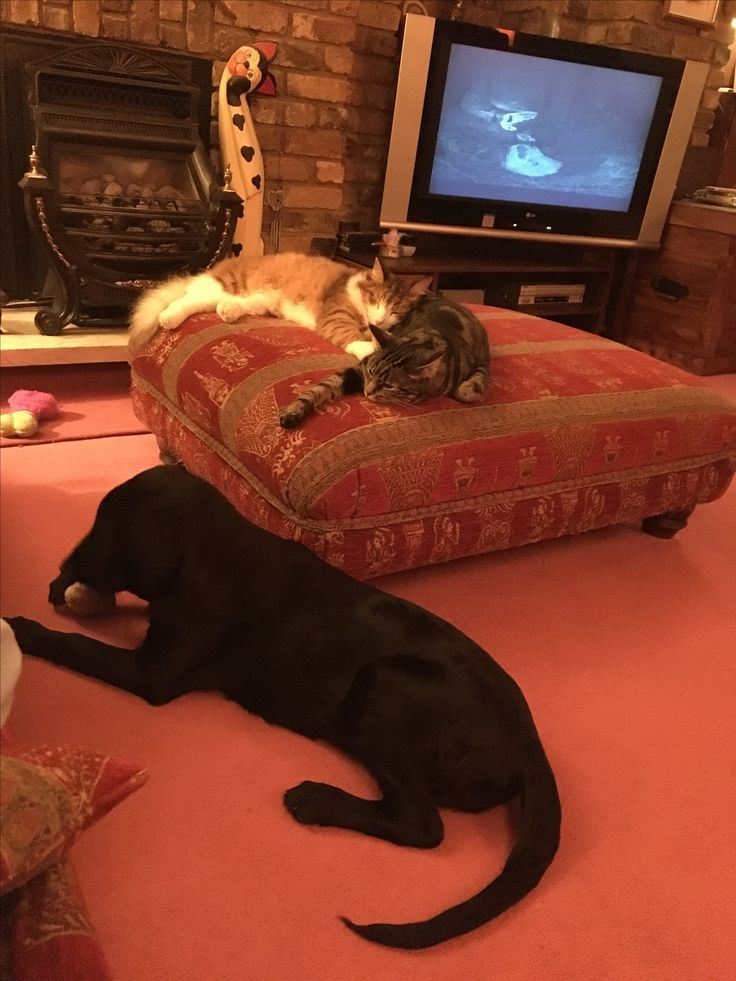 Flat coat retriever puppy 18 weeks