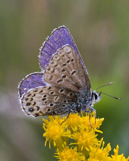 Idas Blue Butterfly (Lycaeides Idas). Europe and Asia.