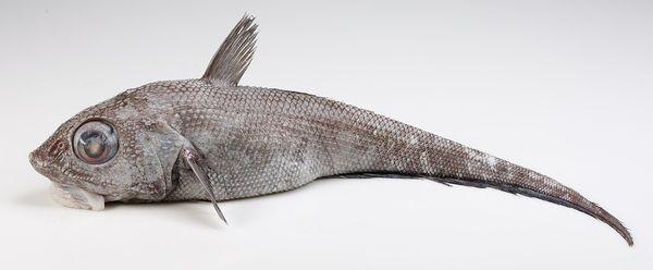 Isgalt, Roughheaded/Smoothspined Grenadier, Rat-tail, Macrourus berglax. Skolestfamilien, torskefisker. Kaldt hav på strekningen Norge, Spitsbergen, Færøyene, Island og Grønland. Dybde 650-800 m i Norskehavet, påvist ned til 2000 m. Opptil 110 cm reke- og bunndyrsspiser. Ikke kommersielt fiske, men ofte bifangst ved f.eks blåkveite.Fast hvitt kjøtt, søtlig smak som skalldyr eller blanding av torsk og uer: ca 81 kcal/100g, hovedsaklig protein.