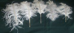 "Deluxe Ostrich Feathers-Bleach White~Buy what you need~11-14"" Long"