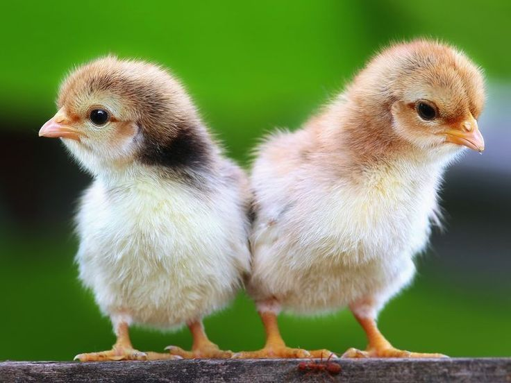 Freundschaft unter Hühnerküken - Foto: Shutterstock / PCHT  www.einfachtierisch.de
