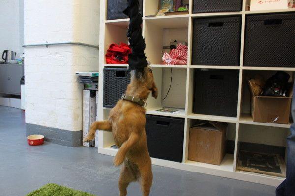 DogBuddy Rosie vår Border Terrier med Hundleksaker