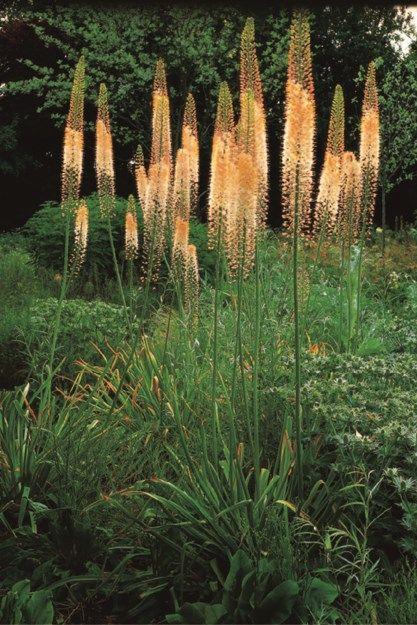Blazing Orange Foxtail Lily (eremurus 'cleopatra')  Garden Design Calimesa, CA