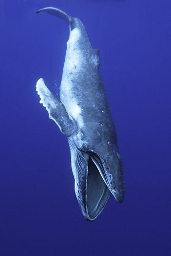 A humpback whale calf takes a drink(Rob Hughes)