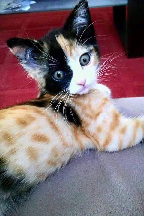 kitten ~ unusual markings