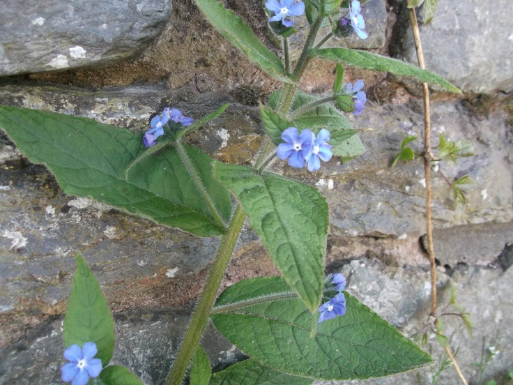 Green alkanet on roadside. There are a lot of wall and verge wildflowers grow on outskirts of towns too.