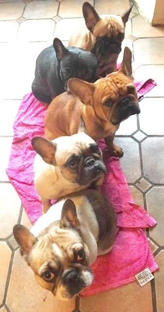 affordable french bulldog best 25 blue french bulldogs ideas on pinterest grey 4275