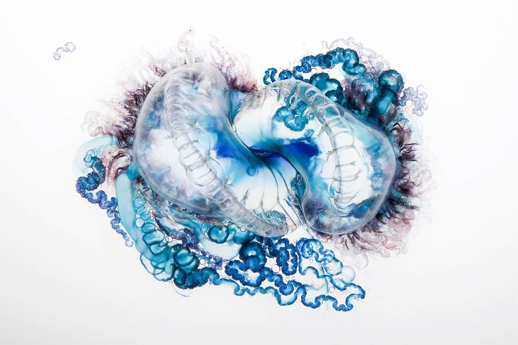 aaron ansarov photo of a blue portuguese man of war