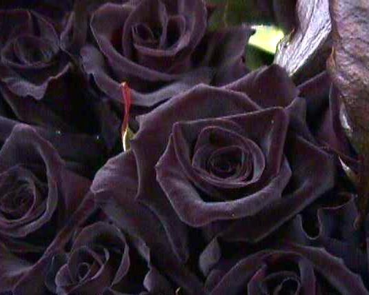 'Baccara' Black Rose