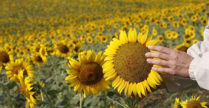 3 Peluang dan Prospek Bisnis Bunga Matahari