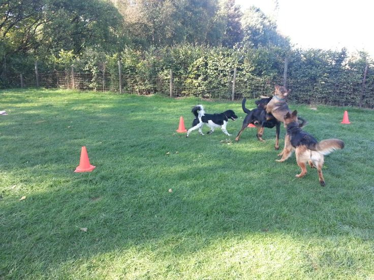 Lekker ouwehoeren tijdens de hondencursus.  Friese Stabij,  Beauceron, Rottweiler mix en Duitse Herder.