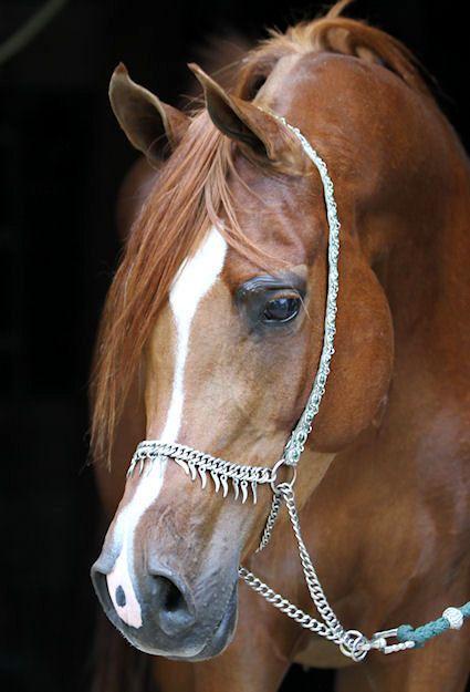 Madam Mouselle | Valiant Arabians