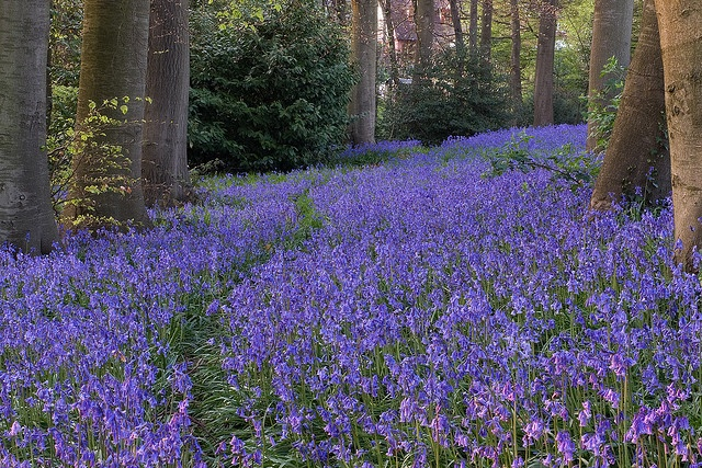 Bluebell wood, Amersham, England  - Heavenly to walk here!