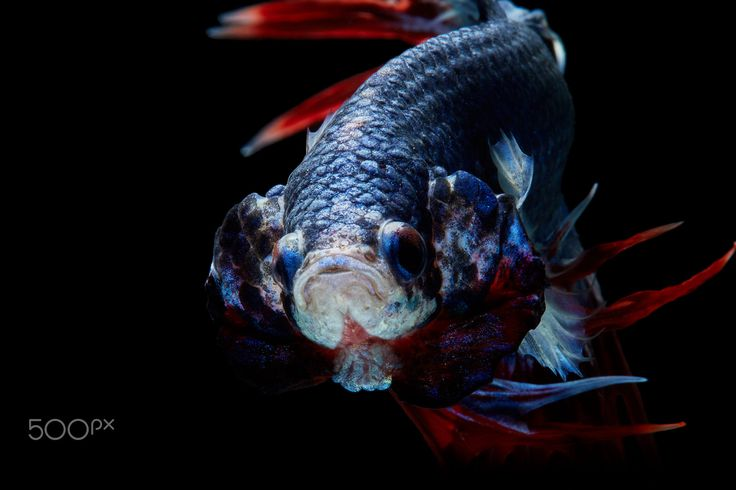 Trairong Crowntails by Kidsada Manchinda on 500px